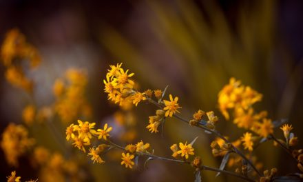 Pflanzensalbe-Kompresse mit Arnika