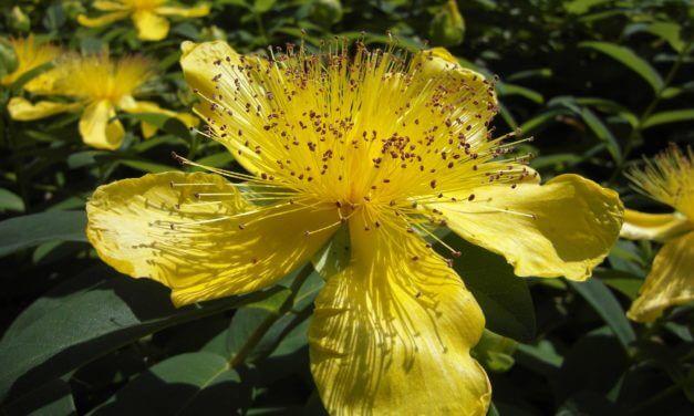 Johanniskraut: das sonnige Gemüt