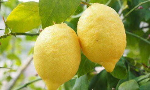Zitrone-Pfefferminze-Kompresse eine Blitzerfrischung